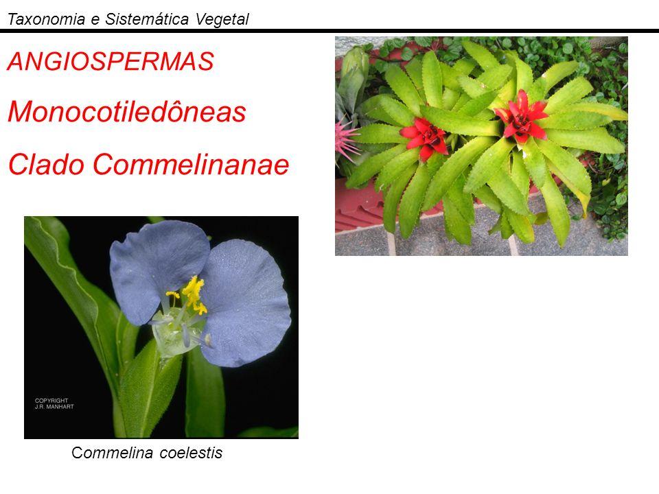 Monocotiledôneas Clado Commelinanae ANGIOSPERMAS