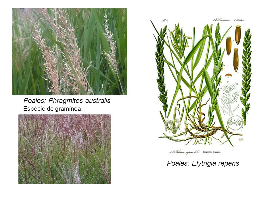 Poales: Phragmites australis