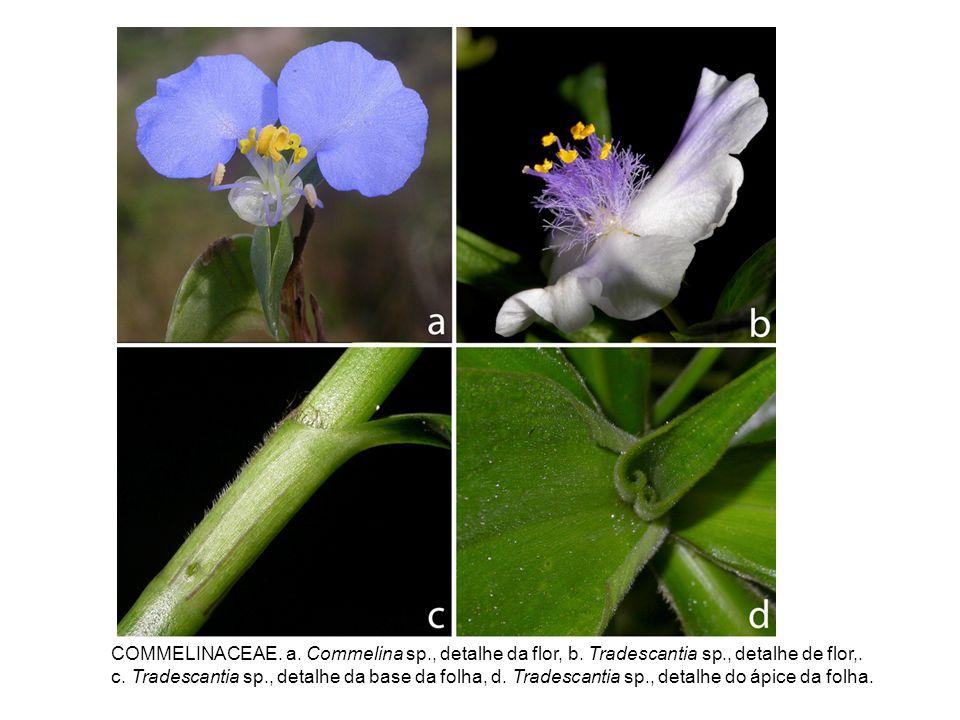 COMMELINACEAE. a. Commelina sp. , detalhe da flor, b. Tradescantia sp