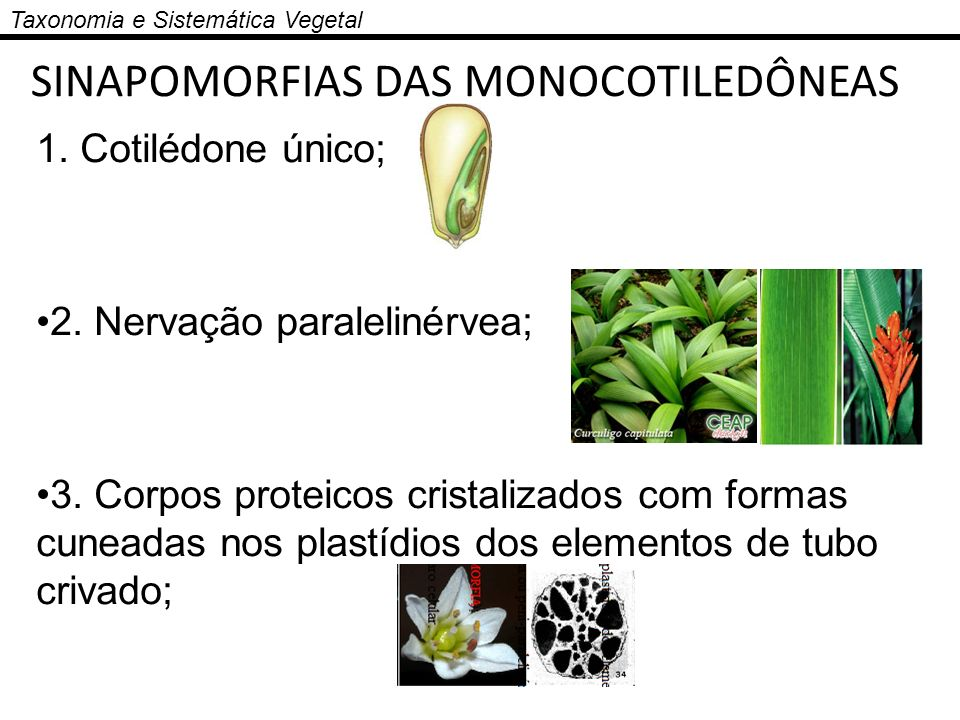 SINAPOMORFIAS DAS MONOCOTILEDÔNEAS