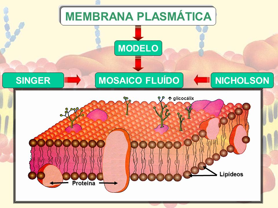 MEMBRANA PLASMÁTICA SINGER NICHOLSON MODELO MOSAICO FLUÍDO Lipídeos