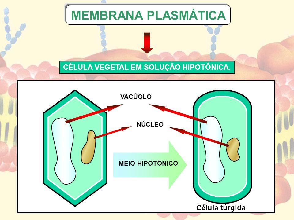 CÉLULA VEGETAL EM SOLUÇÃO HIPOTÔNICA.