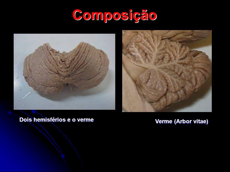 Composição Dois hemisférios e o verme Verme (Arbor vitae)
