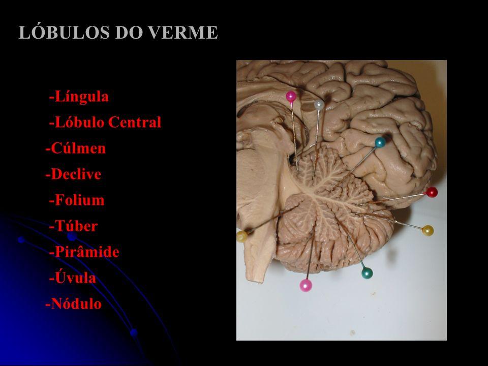LÓBULOS DO VERME -Língula -Lóbulo Central -Cúlmen -Declive -Folium