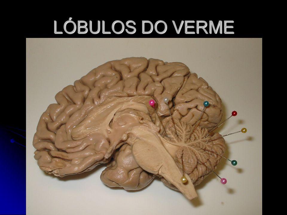 LÓBULOS DO VERME
