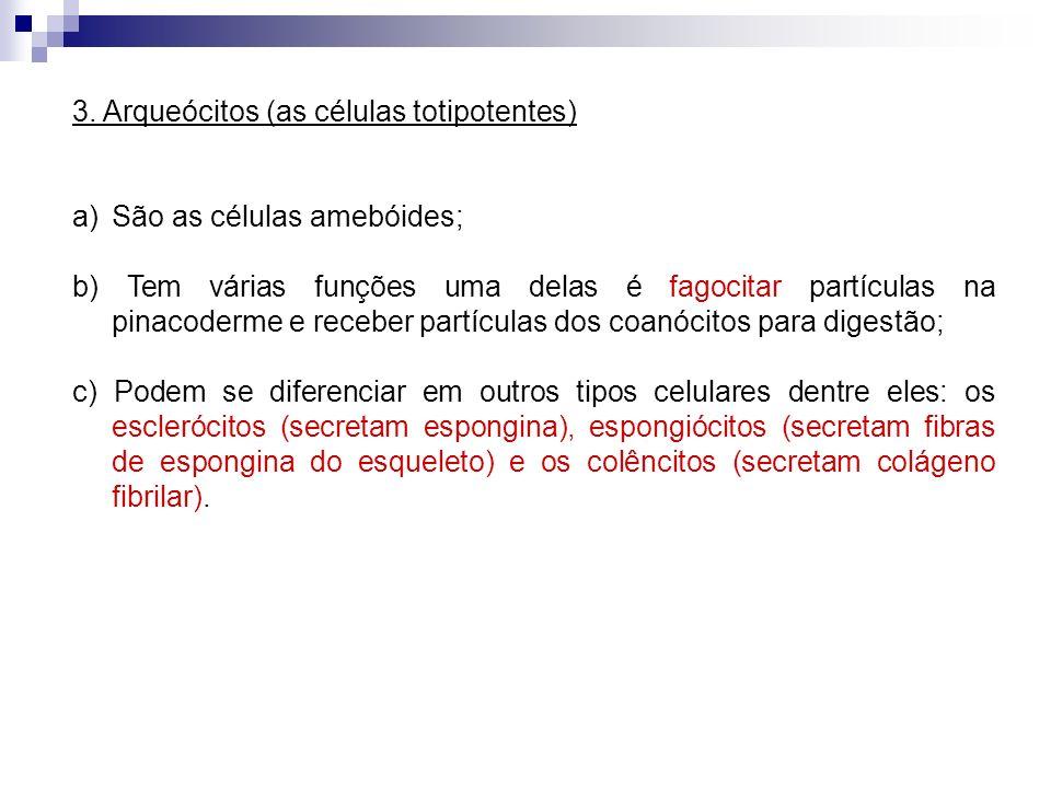 3. Arqueócitos (as células totipotentes)