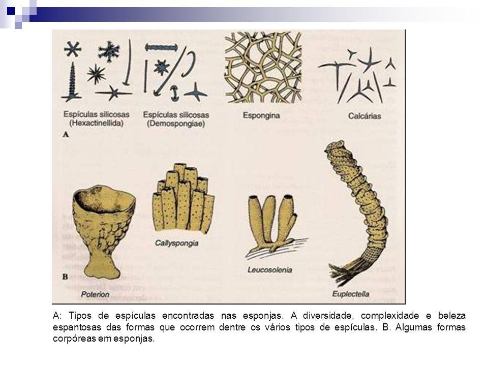 A: Tipos de espículas encontradas nas esponjas