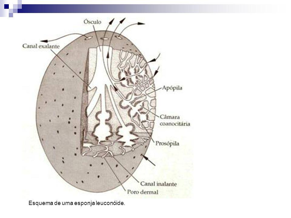 Esquema de uma esponja leuconóide.
