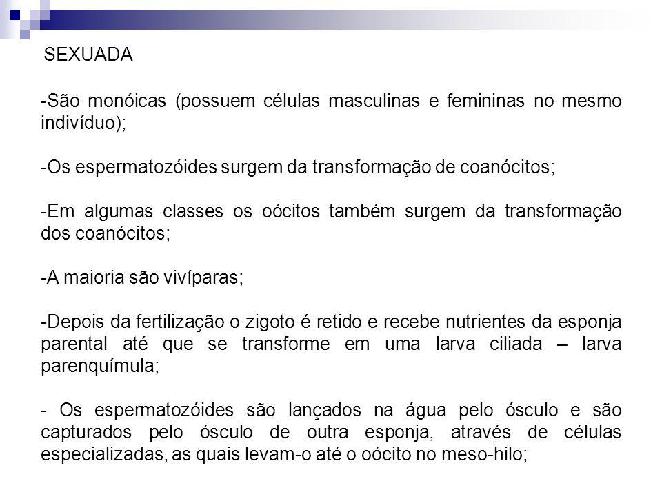SEXUADA São monóicas (possuem células masculinas e femininas no mesmo indivíduo); Os espermatozóides surgem da transformação de coanócitos;