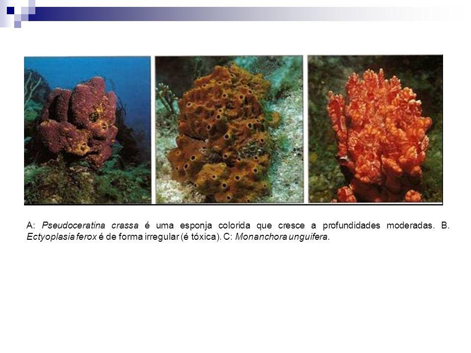 A: Pseudoceratina crassa é uma esponja colorida que cresce a profundidades moderadas.