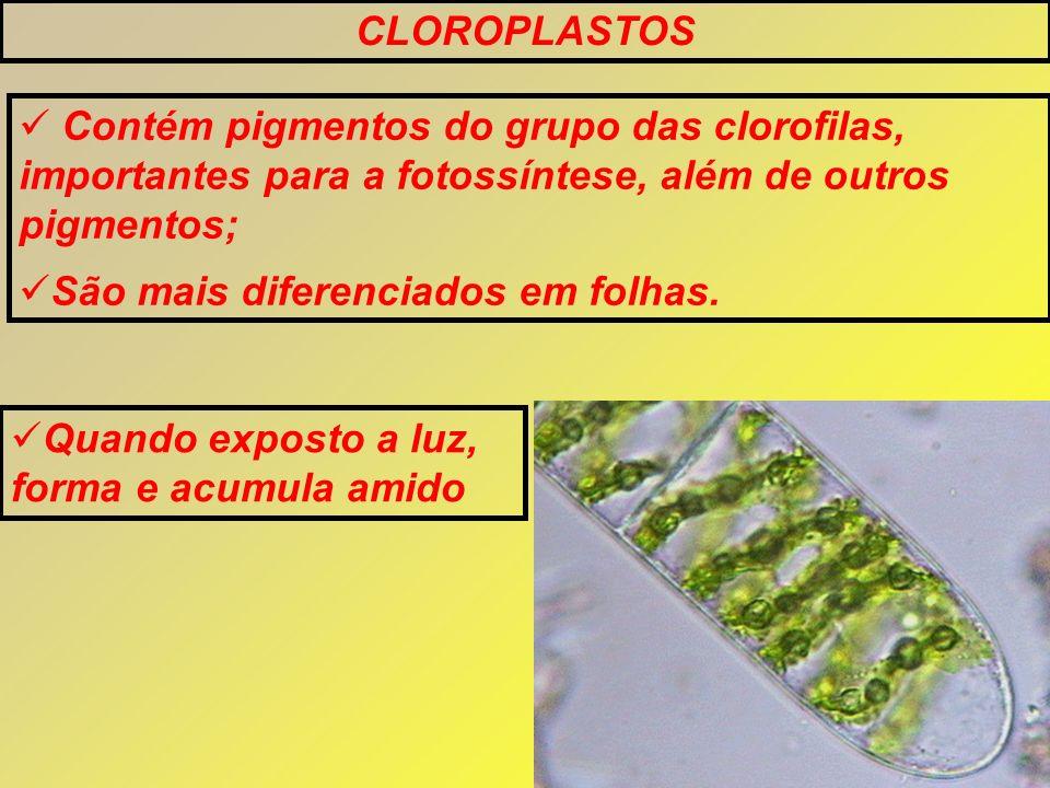 CLOROPLASTOS Contém pigmentos do grupo das clorofilas, importantes para a fotossíntese, além de outros pigmentos;
