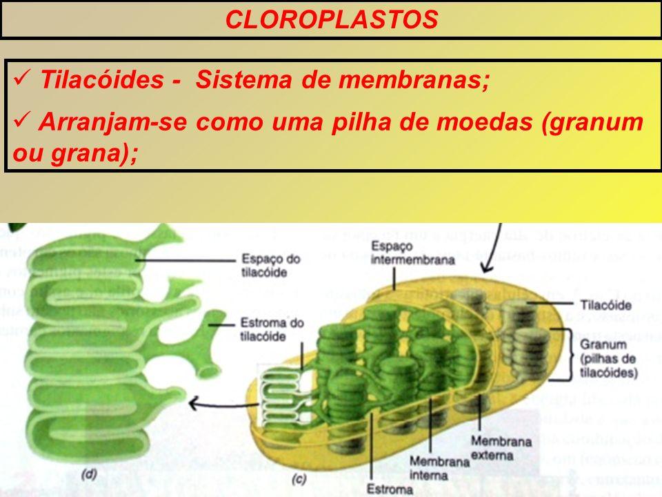 CLOROPLASTOS Tilacóides - Sistema de membranas; Arranjam-se como uma pilha de moedas (granum ou grana);