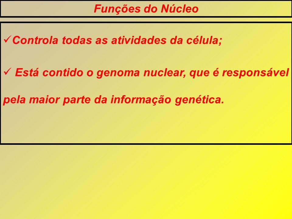Funções do Núcleo Controla todas as atividades da célula;