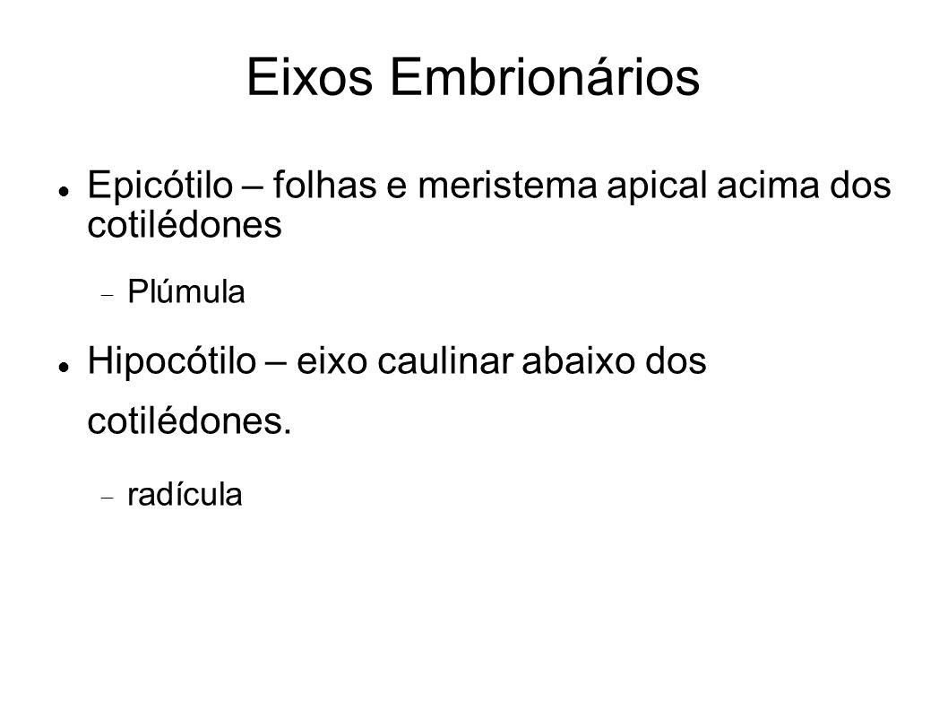 Eixos Embrionários Epicótilo – folhas e meristema apical acima dos cotilédones. Plúmula. Hipocótilo – eixo caulinar abaixo dos cotilédones.