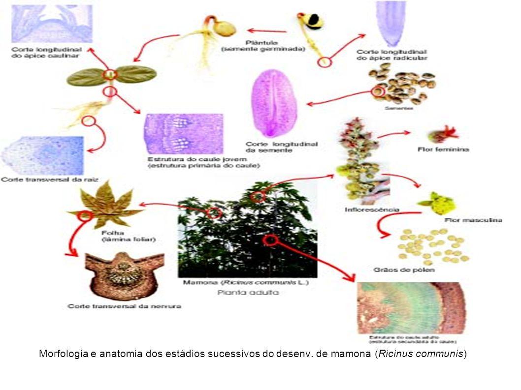 Morfologia e anatomia dos estádios sucessivos do desenv