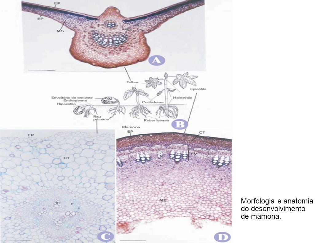Morfologia e anatomia do desenvolvimento de mamona.