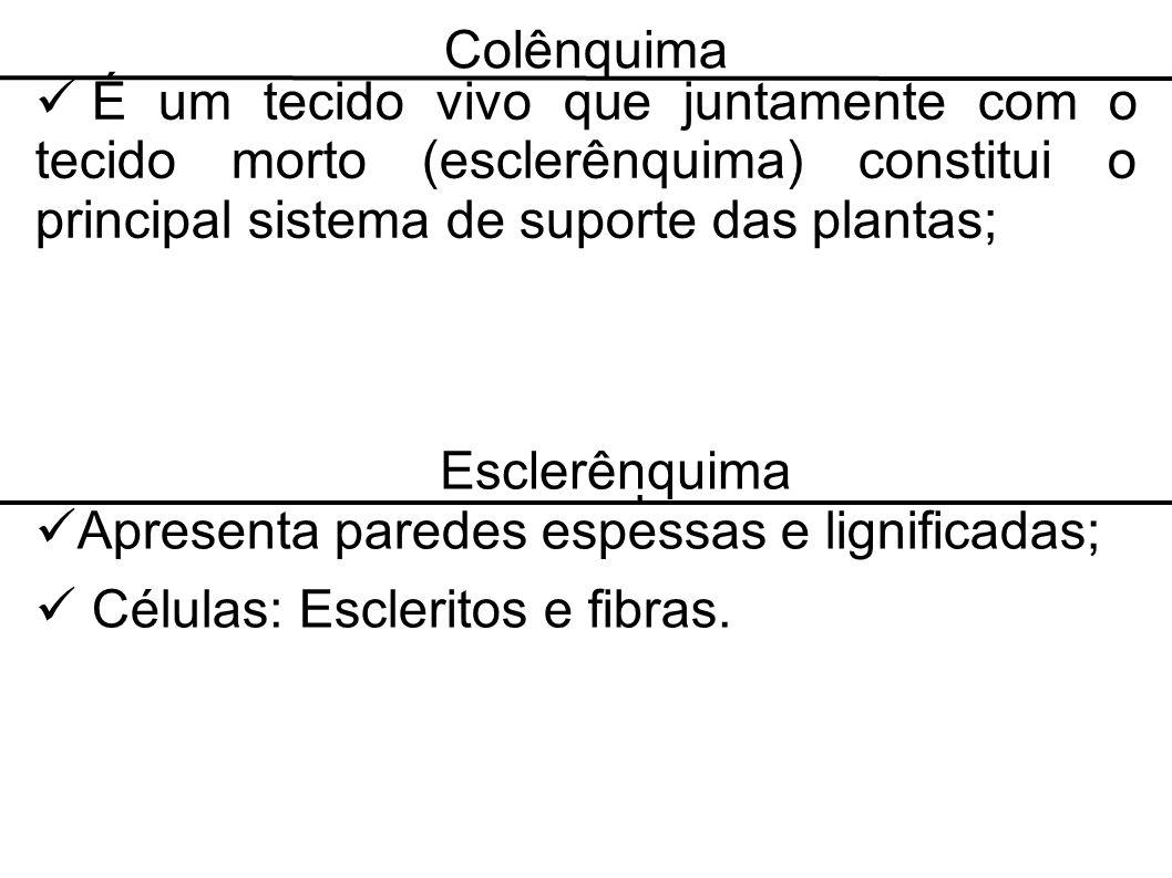 Colênquima É um tecido vivo que juntamente com o tecido morto (esclerênquima) constitui o principal sistema de suporte das plantas;