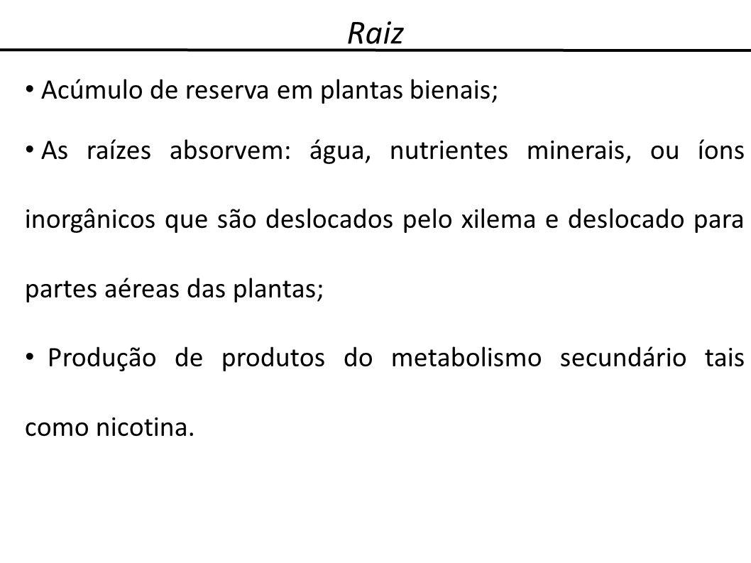 Raiz Acúmulo de reserva em plantas bienais;