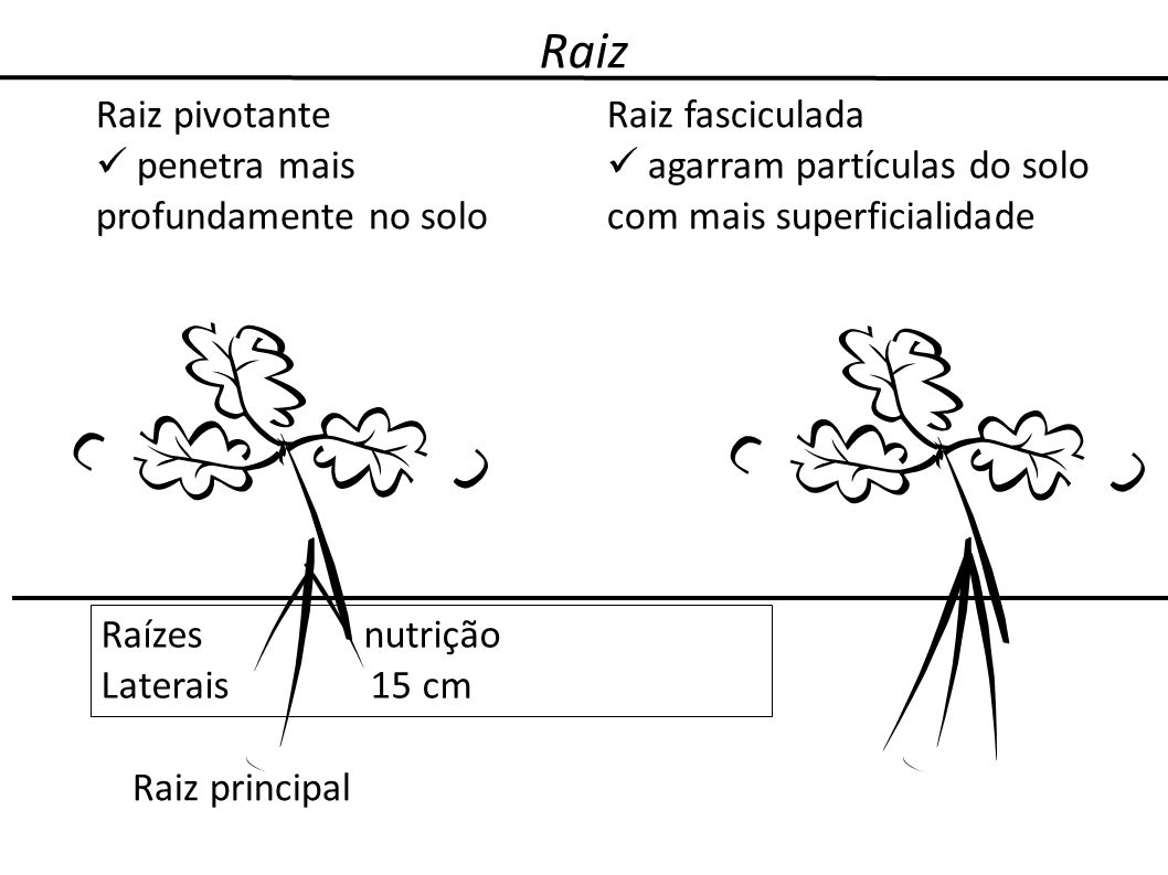 Raiz Raiz pivotante penetra mais profundamente no solo