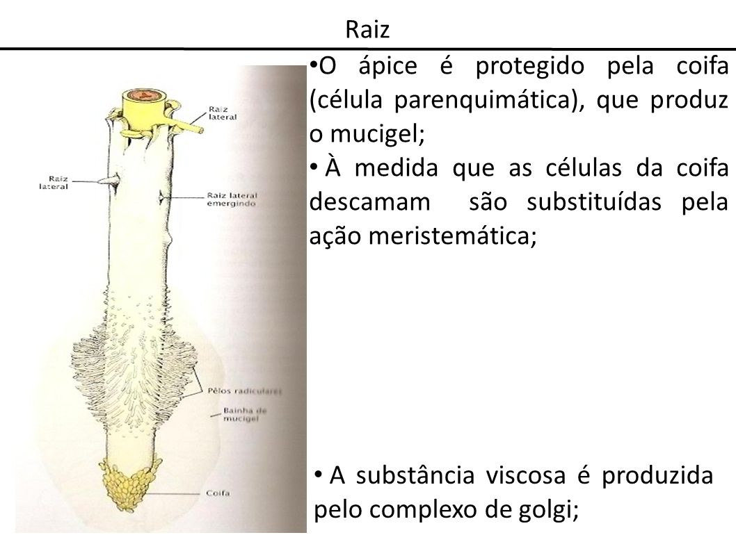 RaizO ápice é protegido pela coifa (célula parenquimática), que produz o mucigel;