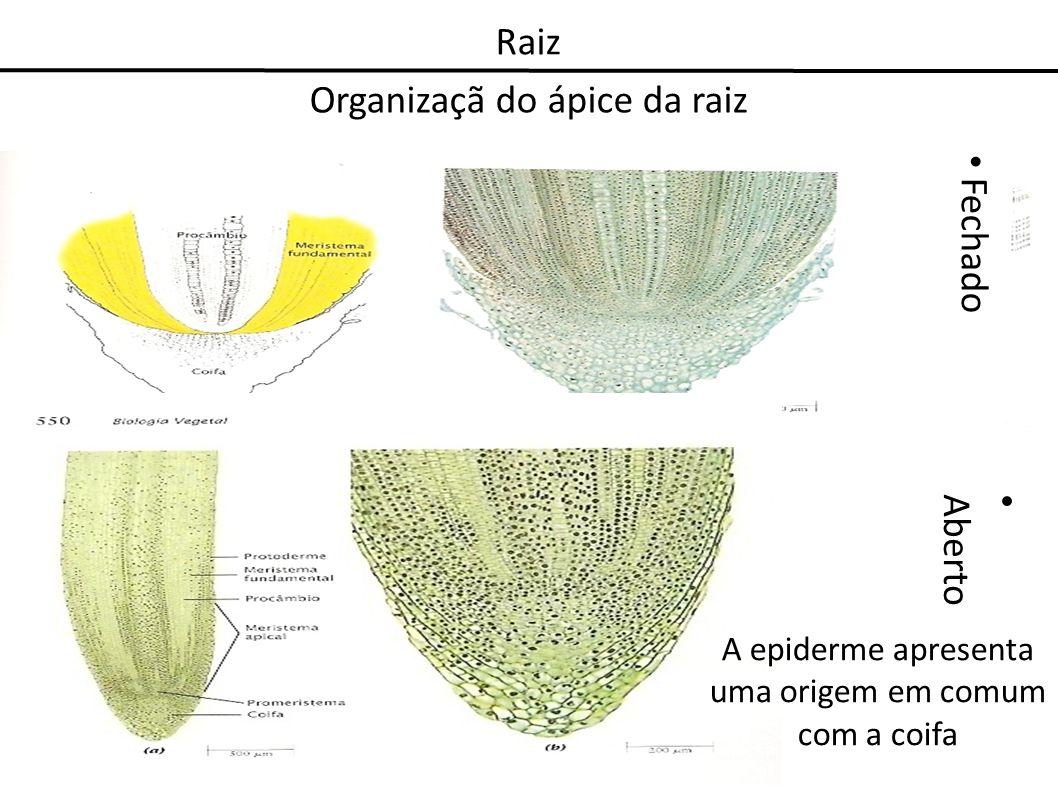 Organizaçã do ápice da raiz