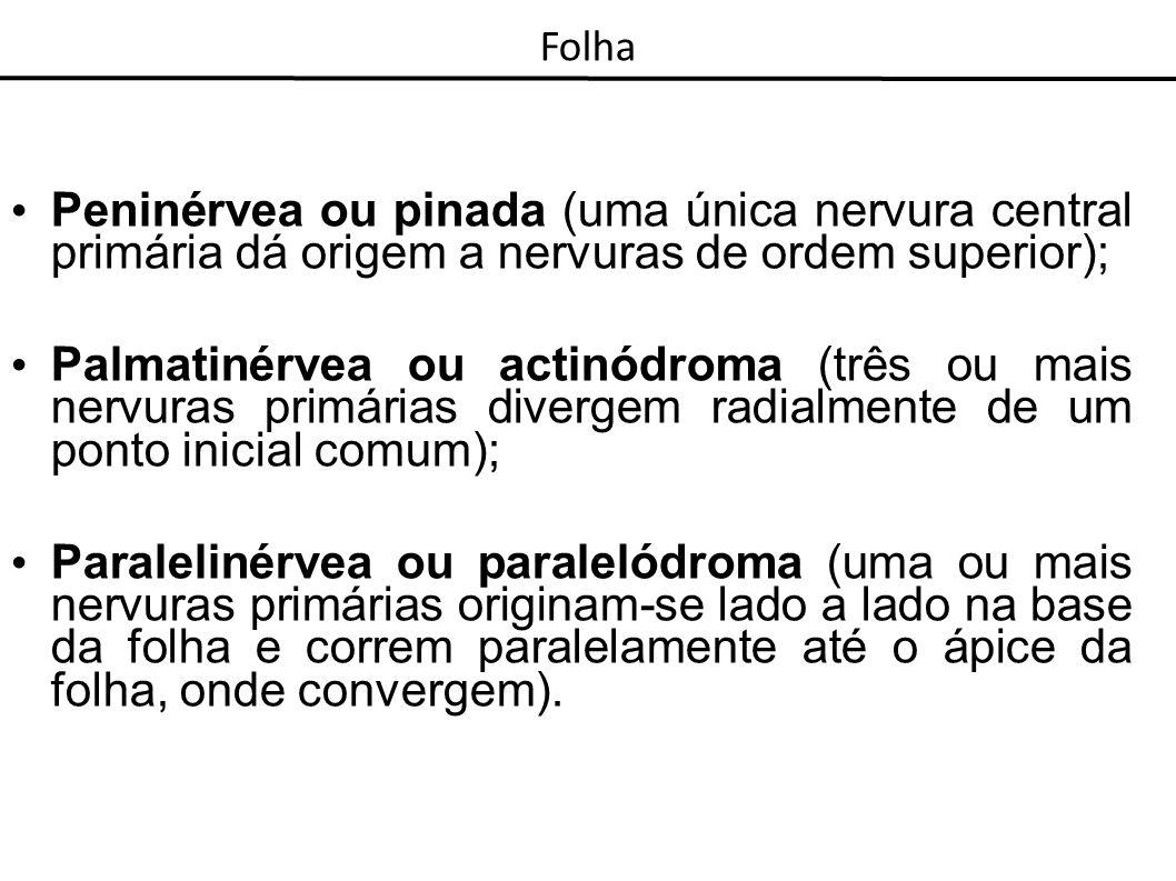 Folha Peninérvea ou pinada (uma única nervura central primária dá origem a nervuras de ordem superior);