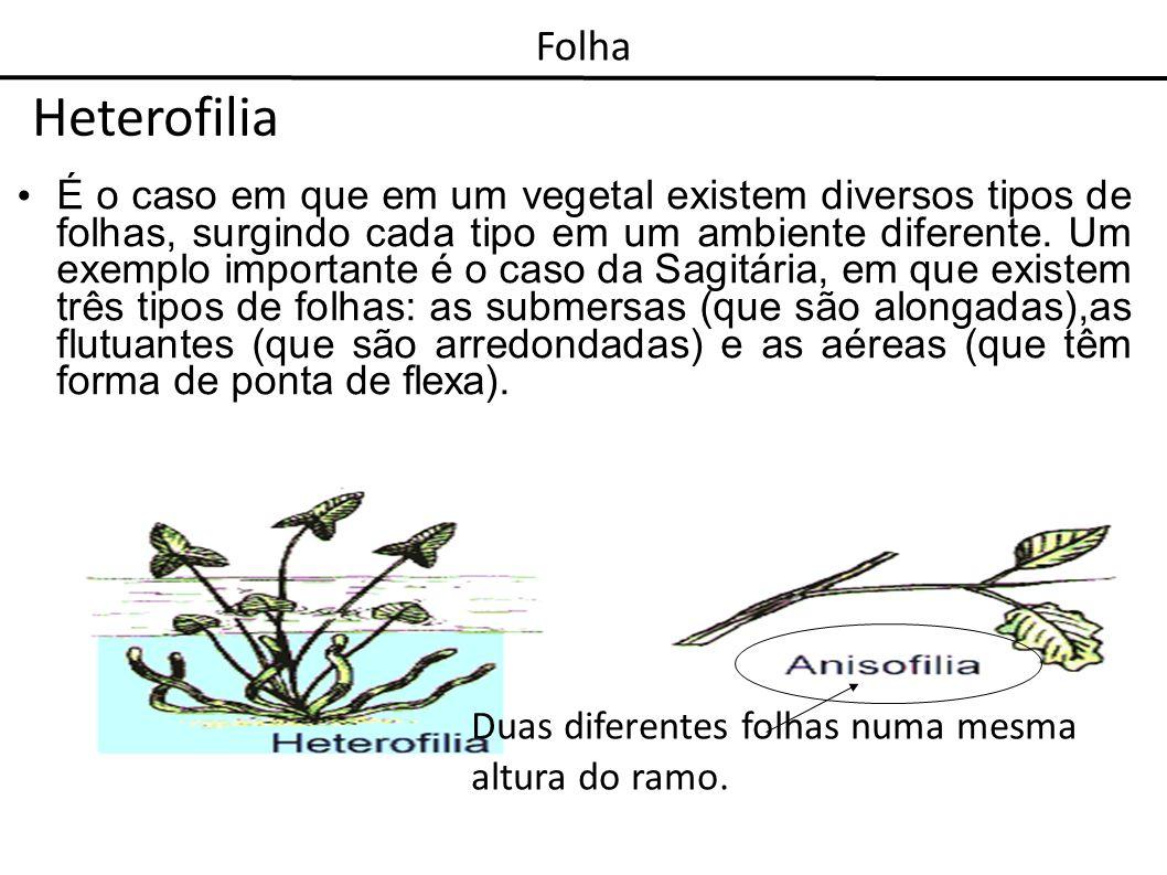 Folha Heterofilia.