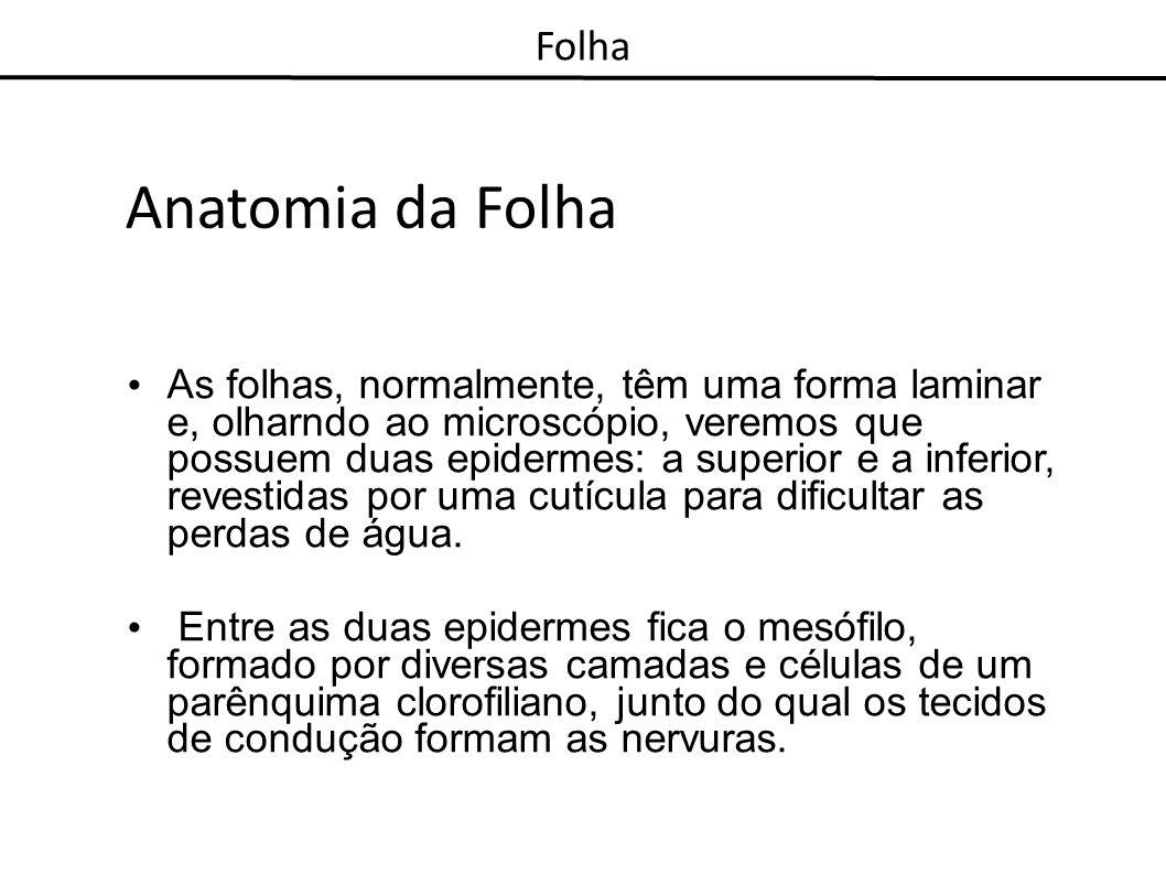 Anatomia da Folha Folha