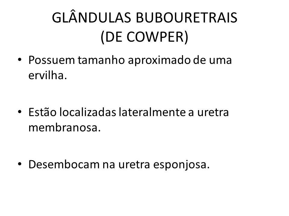 GLÂNDULAS BUBOURETRAIS (DE COWPER)