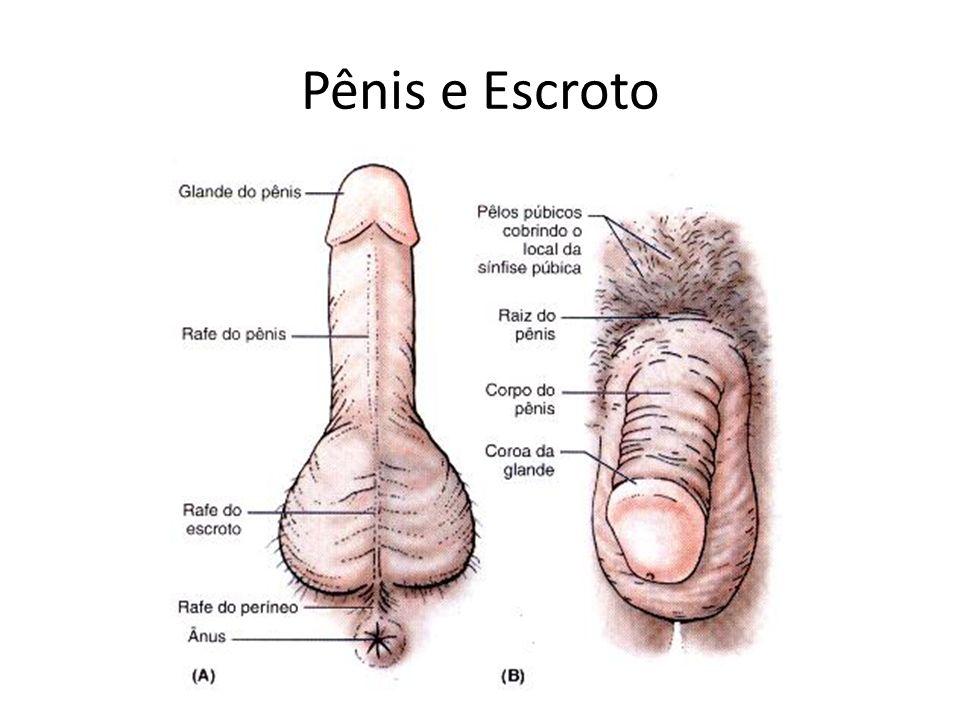 Pênis e Escroto