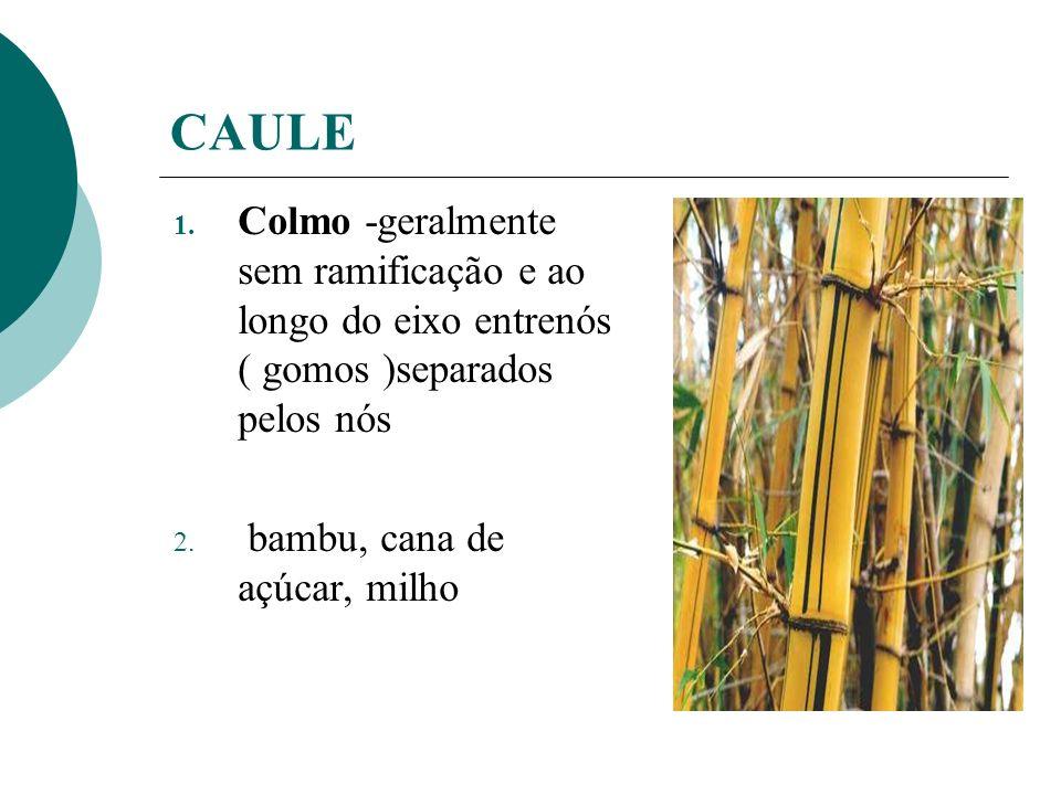 CAULE Colmo -geralmente sem ramificação e ao longo do eixo entrenós ( gomos )separados pelos nós.