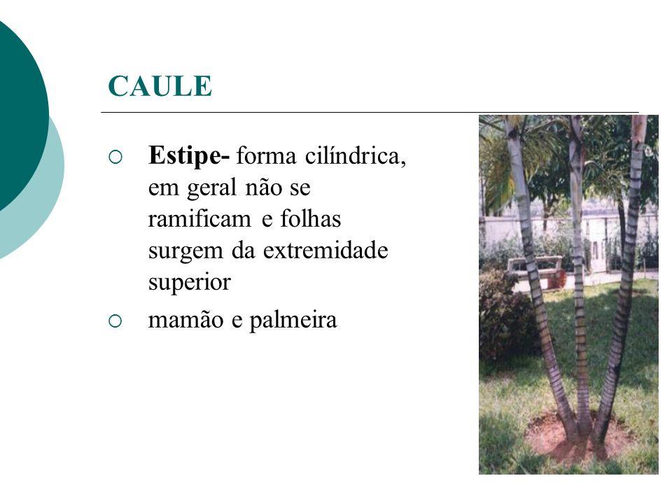 CAULE Estipe- forma cilíndrica, em geral não se ramificam e folhas surgem da extremidade superior.