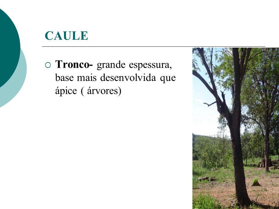 CAULE Tronco- grande espessura, base mais desenvolvida que ápice ( árvores)