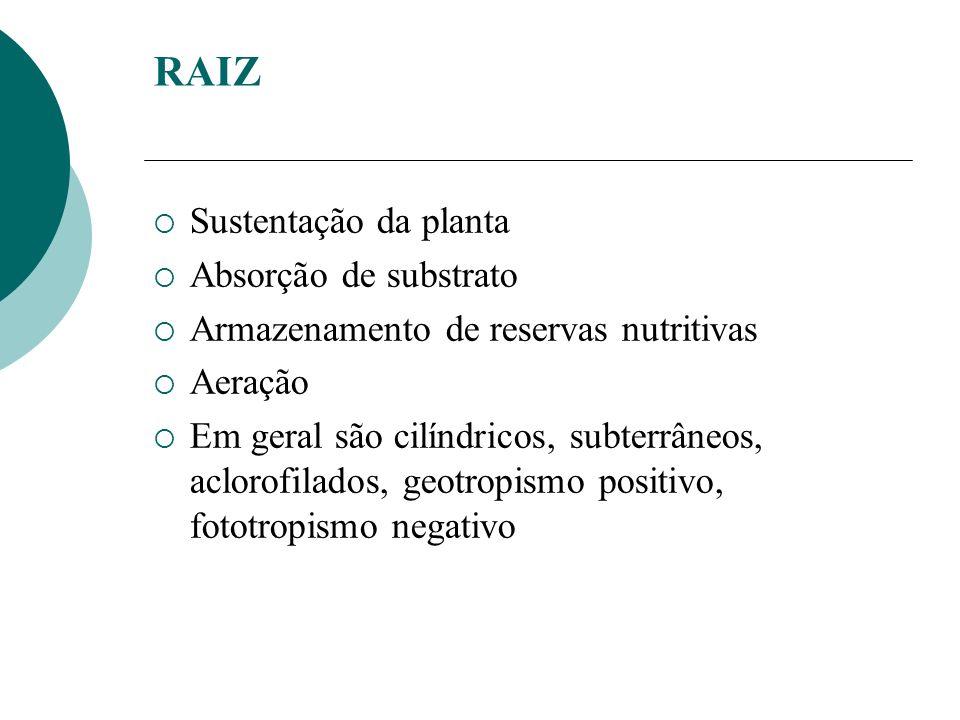 RAIZ Sustentação da planta Absorção de substrato
