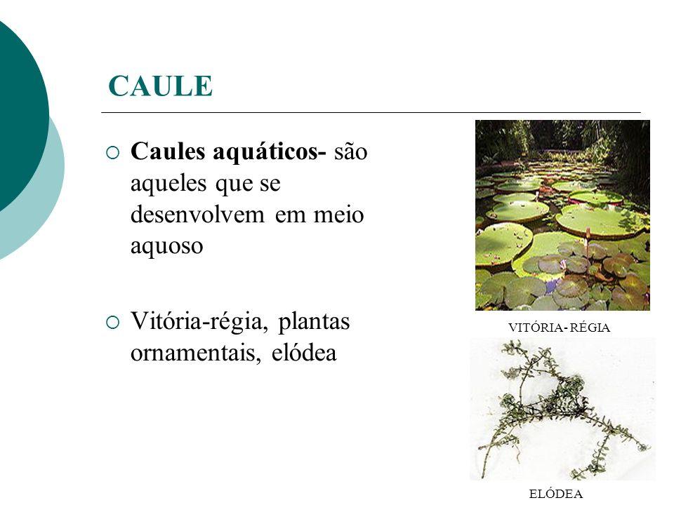 CAULE Caules aquáticos- são aqueles que se desenvolvem em meio aquoso