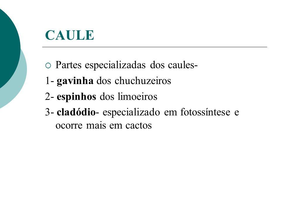 CAULE Partes especializadas dos caules- 1- gavinha dos chuchuzeiros