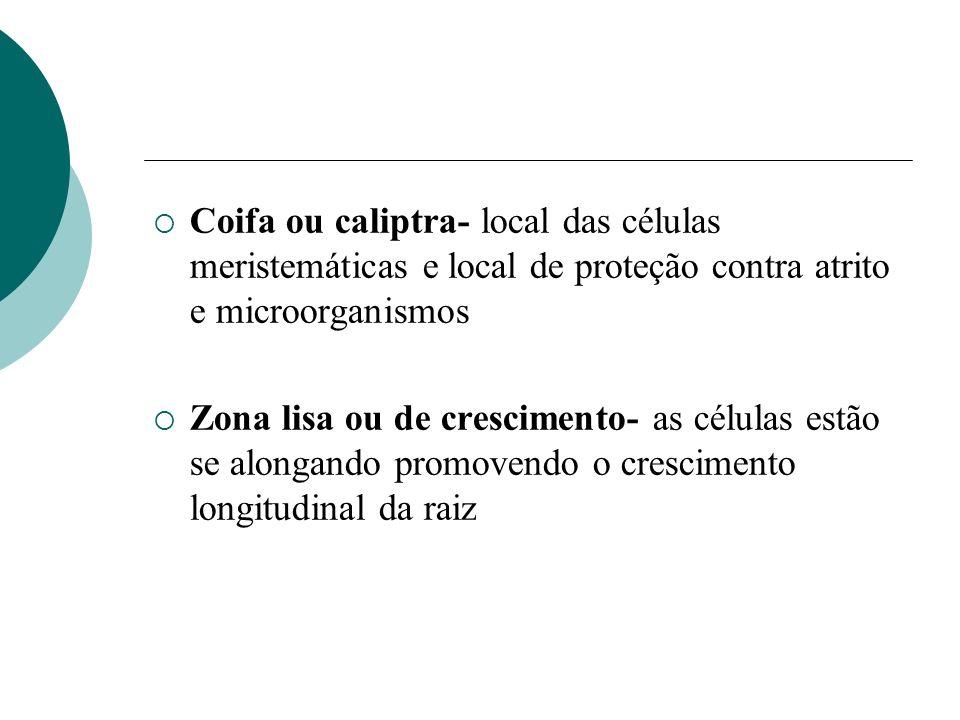 Coifa ou caliptra- local das células meristemáticas e local de proteção contra atrito e microorganismos