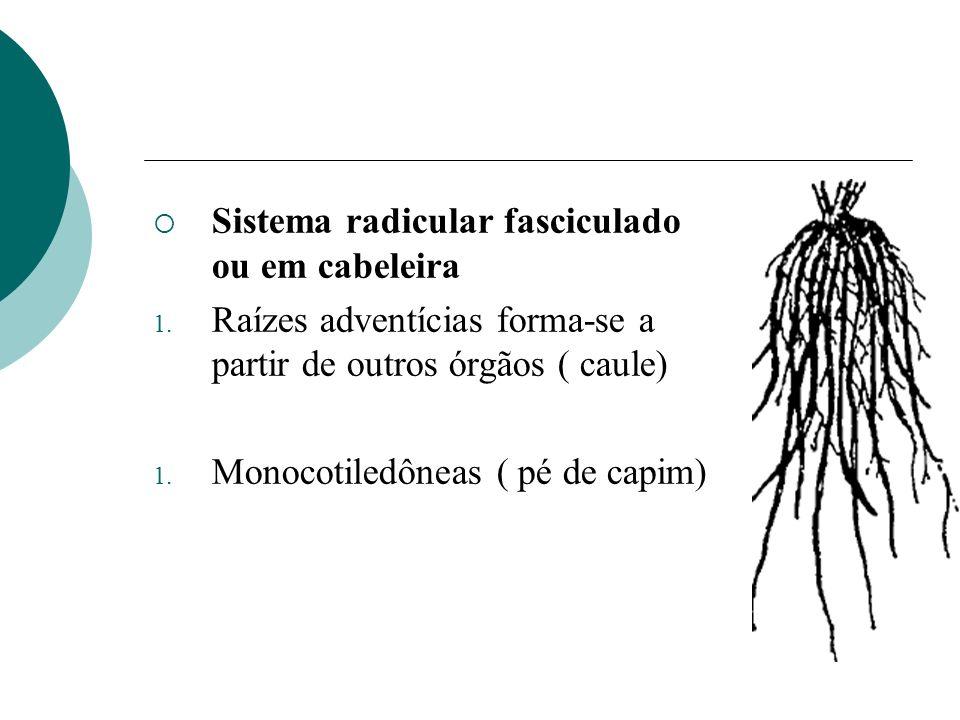 Sistema radicular fasciculado ou em cabeleira