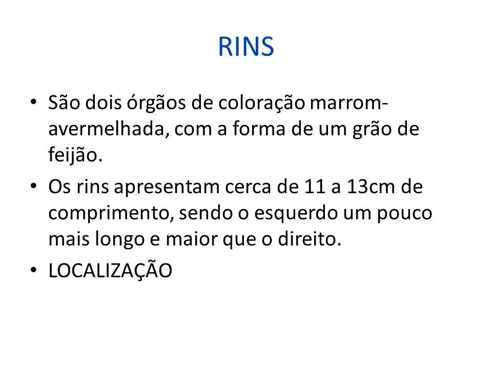 RINS São dois órgãos de coloração marrom-avermelhada, com a forma de um grão de feijão.