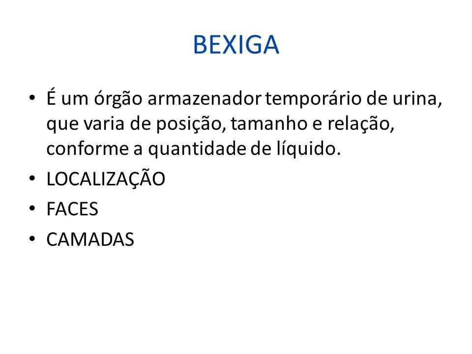 BEXIGA É um órgão armazenador temporário de urina, que varia de posição, tamanho e relação, conforme a quantidade de líquido.
