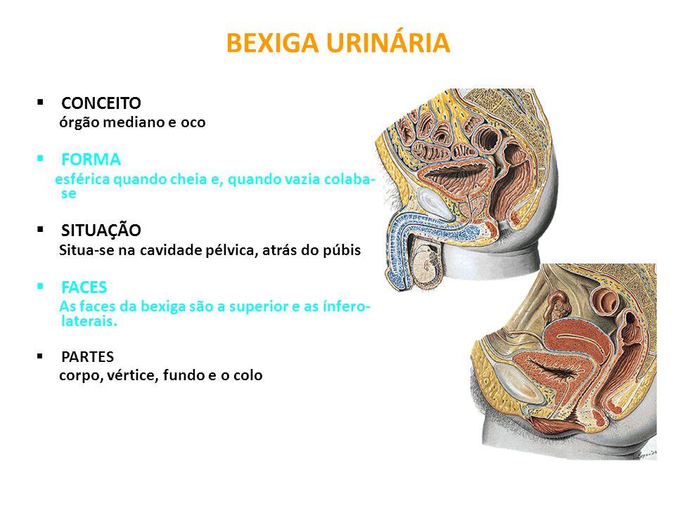 BEXIGA URINÁRIA CONCEITO FORMA SITUAÇÃO FACES órgão mediano e oco