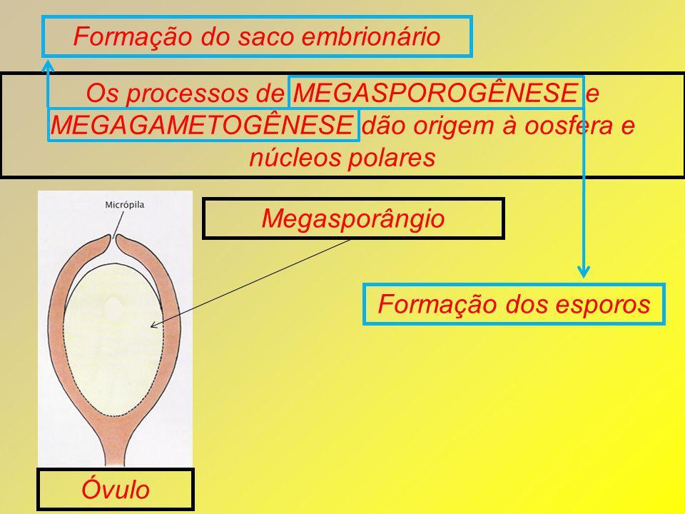 Formação do saco embrionário