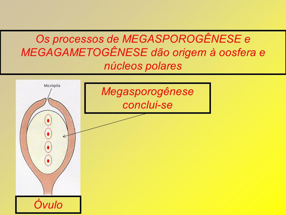 Megasporogênese conclui-se