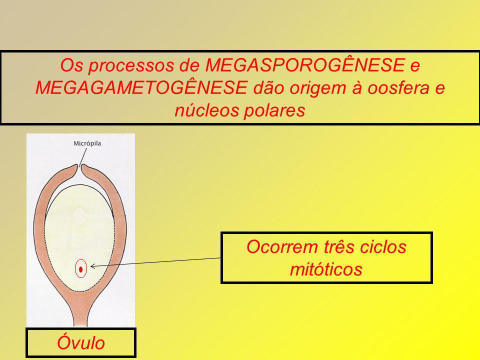 Ocorrem três ciclos mitóticos