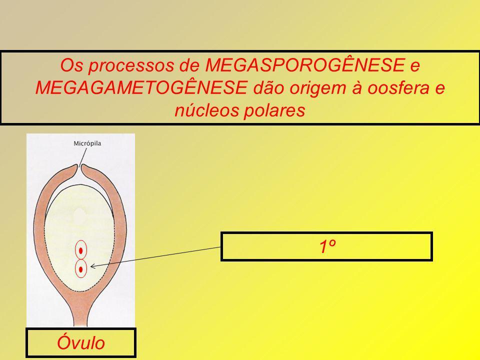 Os processos de MEGASPOROGÊNESE e MEGAGAMETOGÊNESE dão origem à oosfera e núcleos polares