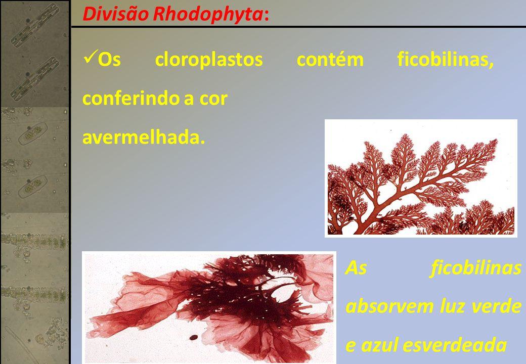 Divisão Rhodophyta: Os cloroplastos contém ficobilinas, conferindo a cor.