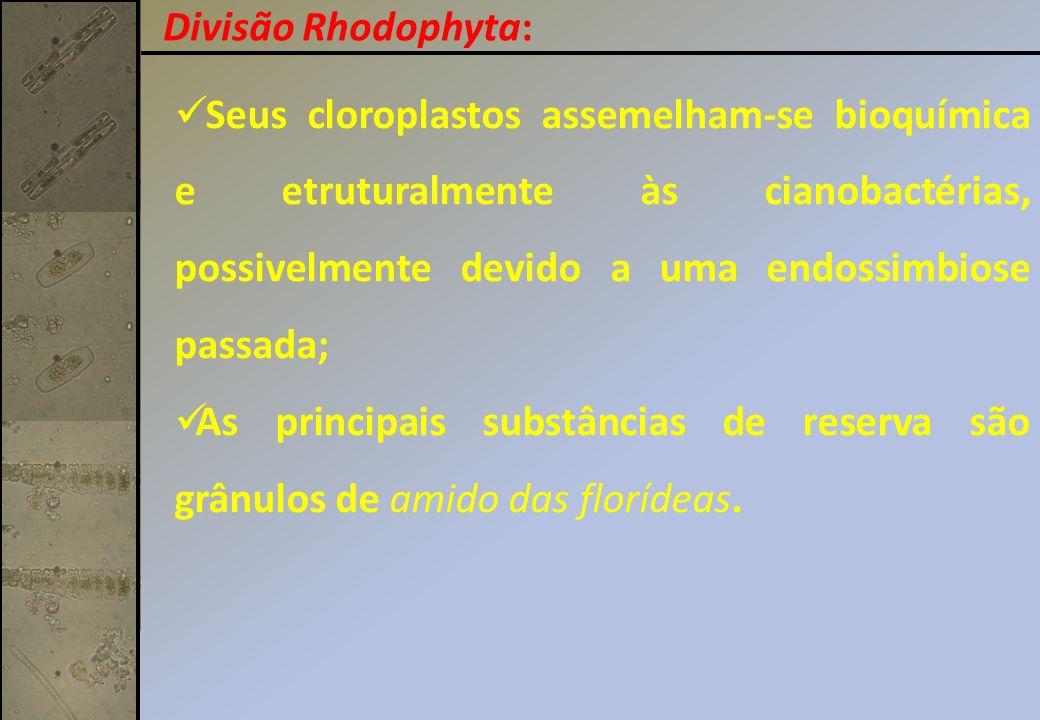 Divisão Rhodophyta: Seus cloroplastos assemelham-se bioquímica e etruturalmente às cianobactérias, possivelmente devido a uma endossimbiose passada;