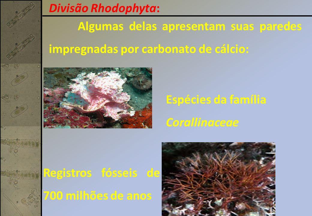 Divisão Rhodophyta: Algumas delas apresentam suas paredes impregnadas por carbonato de cálcio: Espécies da família.