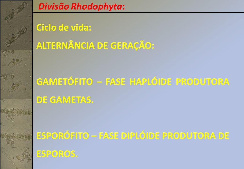 Divisão Rhodophyta: Ciclo de vida: ALTERNÂNCIA DE GERAÇÃO: GAMETÓFITO – FASE HAPLÓIDE PRODUTORA DE GAMETAS.