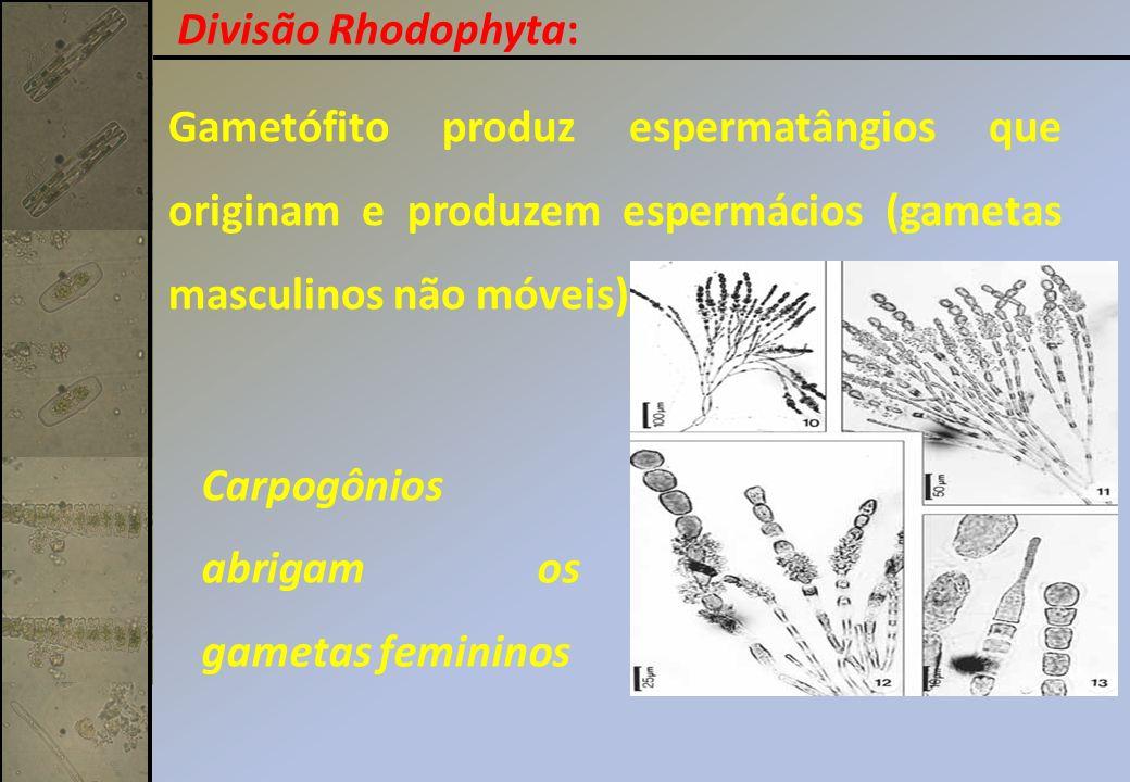 Divisão Rhodophyta: Gametófito produz espermatângios que originam e produzem espermácios (gametas masculinos não móveis).